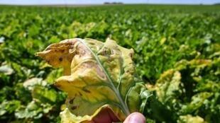 Un agriculteur montre une feuille de betterave infectée par le virus de la jaunisse de la betterave, dans une exploitation à Oye-Plage, dans le nord de la France, le 4 août 2020.