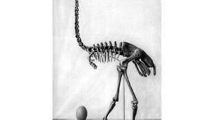 Oiseau-éléphant (Aepyornis gracilis) de Madagascar dessiné par Monnier (1913).