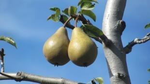 De nombreuses variétés de poires existent en France, pour la plus grande joie des chefs et de nos papilles gustatives!