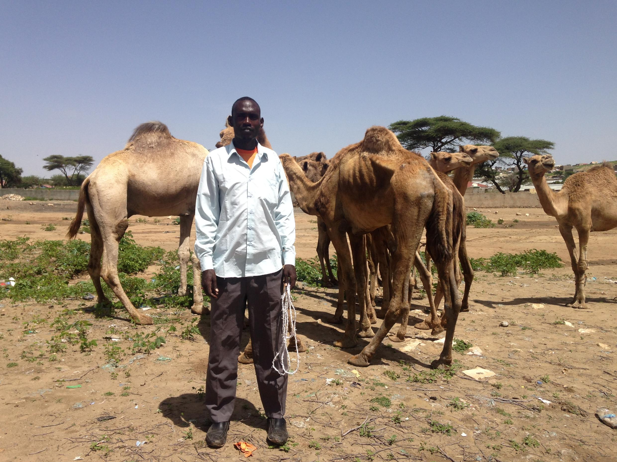 At the livestock market in Borama, drought survivors are for sale, including these camels