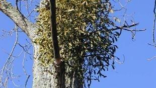 """Passar debaixo de uma guirlanda feita à base de """"gui"""", este arbusto que cresce nas árvores europeias, é uma das tradições francesas para o Ano Novo."""