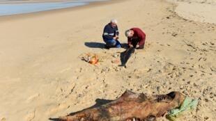 Volunteers of the Pelagis Obsevatory examine a dead dolphin on a beach of the Atlantic Ocean near Lacanau, south-western France, on 22 March, 2019.