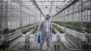 Un trabajador verifica las plantas de cannabis en un invernadero de la empresa canadiense Tilray en Cantanhede, Portugal, el 24 de abril de 2018.