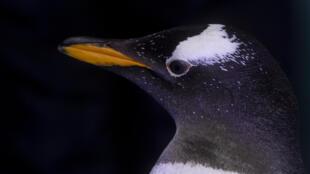 Un pingüino gentoo (Pygoscelis papua) es visto en un ambiente antártico recreado en el Acuario Inbursa, en Ciudad de México, el 8 de enero de 2021