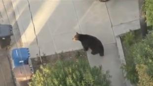 L'ours errait dans la banlieue de Los Angeles. Avait-il perdu le mot de passe de son compte Twitter?