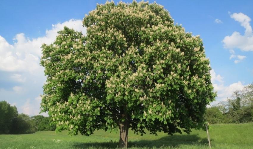 ដើមឈើ horse-chestnut ដែលមានដុះតែនៅទឹកដីអឺរ៉ុបកំពុងប្រឈមនឹងការគំរាមកំហែងដោយសារសត្វល្អិតចង្រៃមកពីបាល់កង់