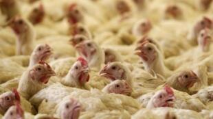 Tại Trung Quốc, dịch cúm gia cầm H7N9 có thể tái xuất hiện vào mùa thu tới