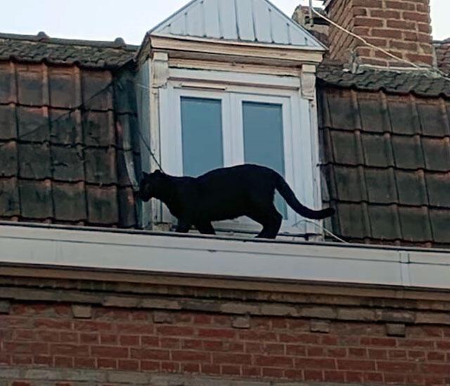 Uma pantera negra caminha sobre os telhados de Armentières
