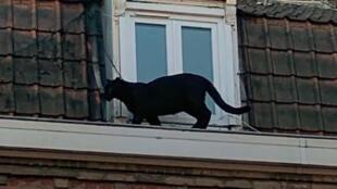 Uma pantera negra foi capturada quando caminhava nos telhados de Armentières