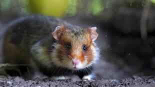 hamsters  000_Par6319854
