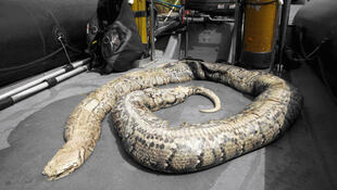 The snake that was found in the Seine