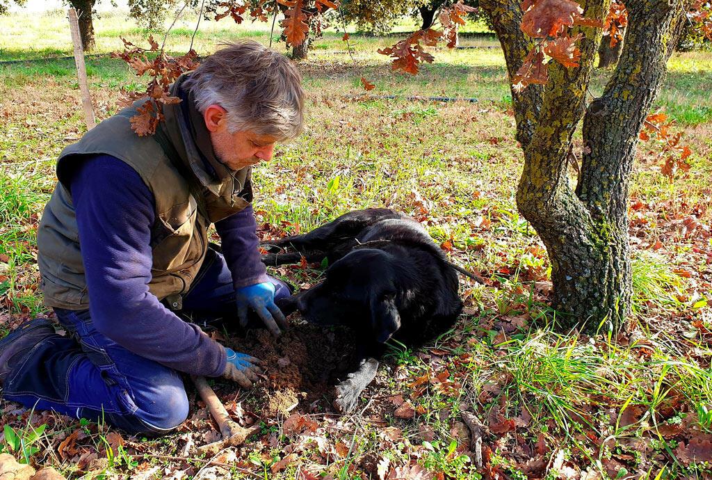 Au pied d'un chêne pubescent, Michel Tournayre déterre la truffe que son chien a flairée.