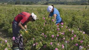 Lors de la cueillette des roses, à Khaskovo, en Bulgarie.