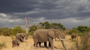 En 2016, la population d'éléphants d'Afrique s'élevait à 415 000 individus, une baisse de 111 000 en 15 ans, liée au braconnage pour l'ivoire.