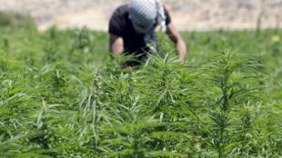 Lebanon is a major producer of cannabis