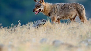 Handout photo from Rewilding Europe shows an Eurasian grey wolf (Canis lupus) walking at a vulture watching site in the Madzharovo valley, Bulgaria
