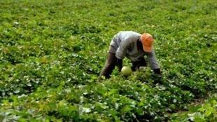 Dans les pays du Sud, les modèles de micro-assurance progressent. (Photo: un paysan sénégalais travaille dans un champ de melons à Djilakh, au sud de Dakar).