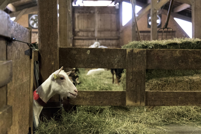 Une centaine de chèvres laitières est élevée au Clos aux Chèvres, à Saint-Jean d'Aulps. Avec les chevrettes et les boucs, cela fait un troupeau de 140 bêtes. La taille moyenne d'un élevage dans ce département de montagne.
