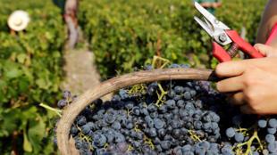 France Champs Raisin Grapes Farming GLOBAL-WINE
