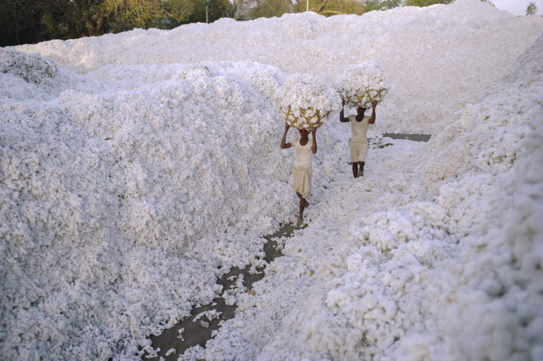 Une exploitation de coton dans la région de Gujarat, en Inde.