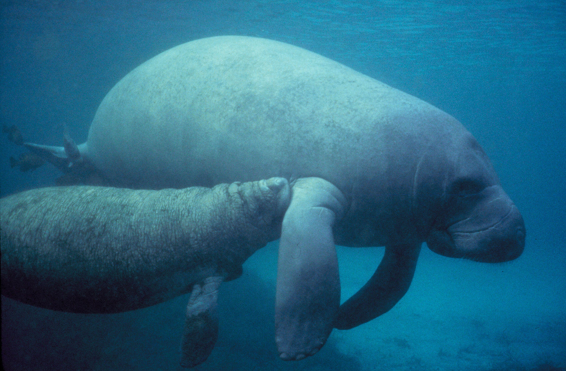 Peixe-boi é um dos animais da fauna marinha brasileira em risco de extinção.