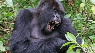 Un gorille des montagne photographié au Rwanda.