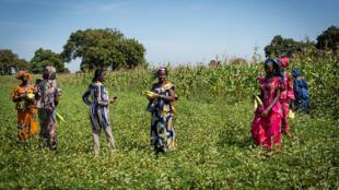 Groupe de Femmes_Champ Maïs_PAFA_Sénégal