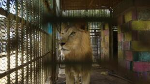 Un lion souffrant de malnutrition se promène dans sa cage au parc Al-Qureshi dans la capitale soudanaise Khartoum le 19 janvier 2020.