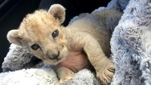 The lion cub rescued after being discovered hidden in a small cage in a garage in Marseille