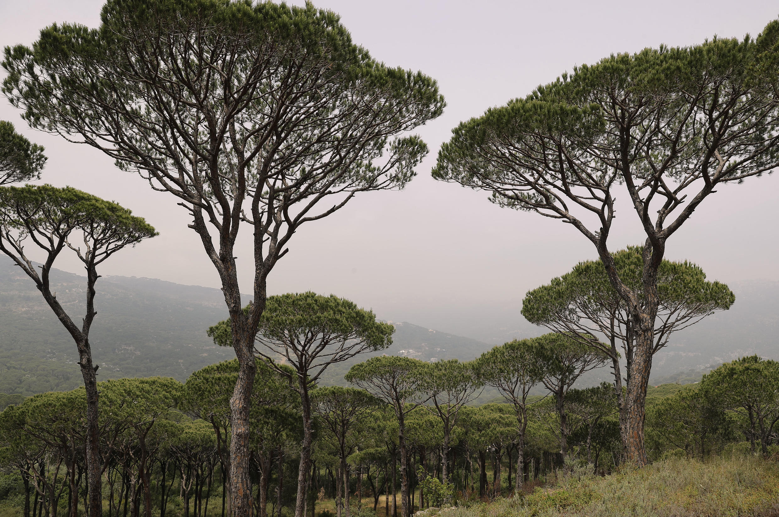 The Qsaybeh pine forest east of Beirut