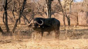 Un buffalo à Thabazimbi, province du Limpopo (Afrique du Sud), septembre 2014.