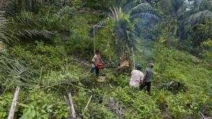 Trabalhadores do Leuser Conservation Forum ou Forum Konservasi Leuser (FKL) cortam palmeiras plantadas ilegalmente na área de Aceh Tamiang, na província de Aceh na Indonésia. 06/07/18
