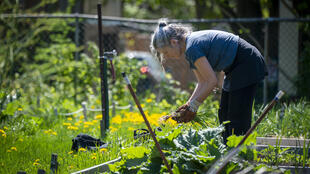 Christine Lamothe works in a community garden in Montreal, Quebec, Canada on May 22, 2020