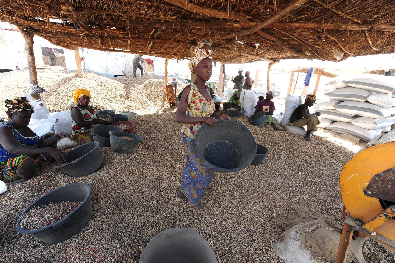 Des femmes trient les arachides dans le village Sénégal de Dinguiraye. (image d'illustration)