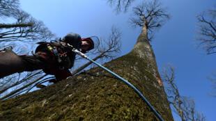 Восемь  самых старых и высоких деревьев из бывшего королевского леса Берсе в долине Луары пойдут на восстановление уничтоженной пожаром 2019 года стрелы собора Парижской Богоматери.