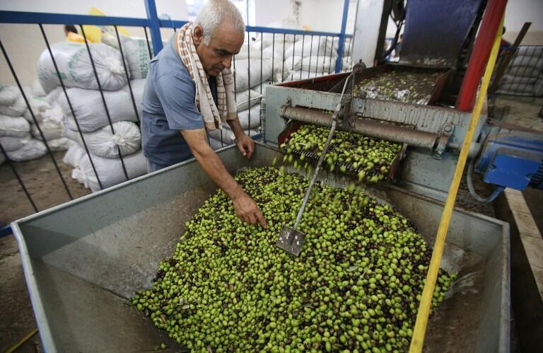 Un Palestinien inspecte les olives avant qu'elles ne soient pressées à Ramallah, en Cisjordanie.