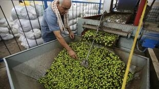 Un Palestinien inspecte les olives avant qu'elles ne soient pressées à Ramallah, en Cisjordanie. (Photo d'illustration).