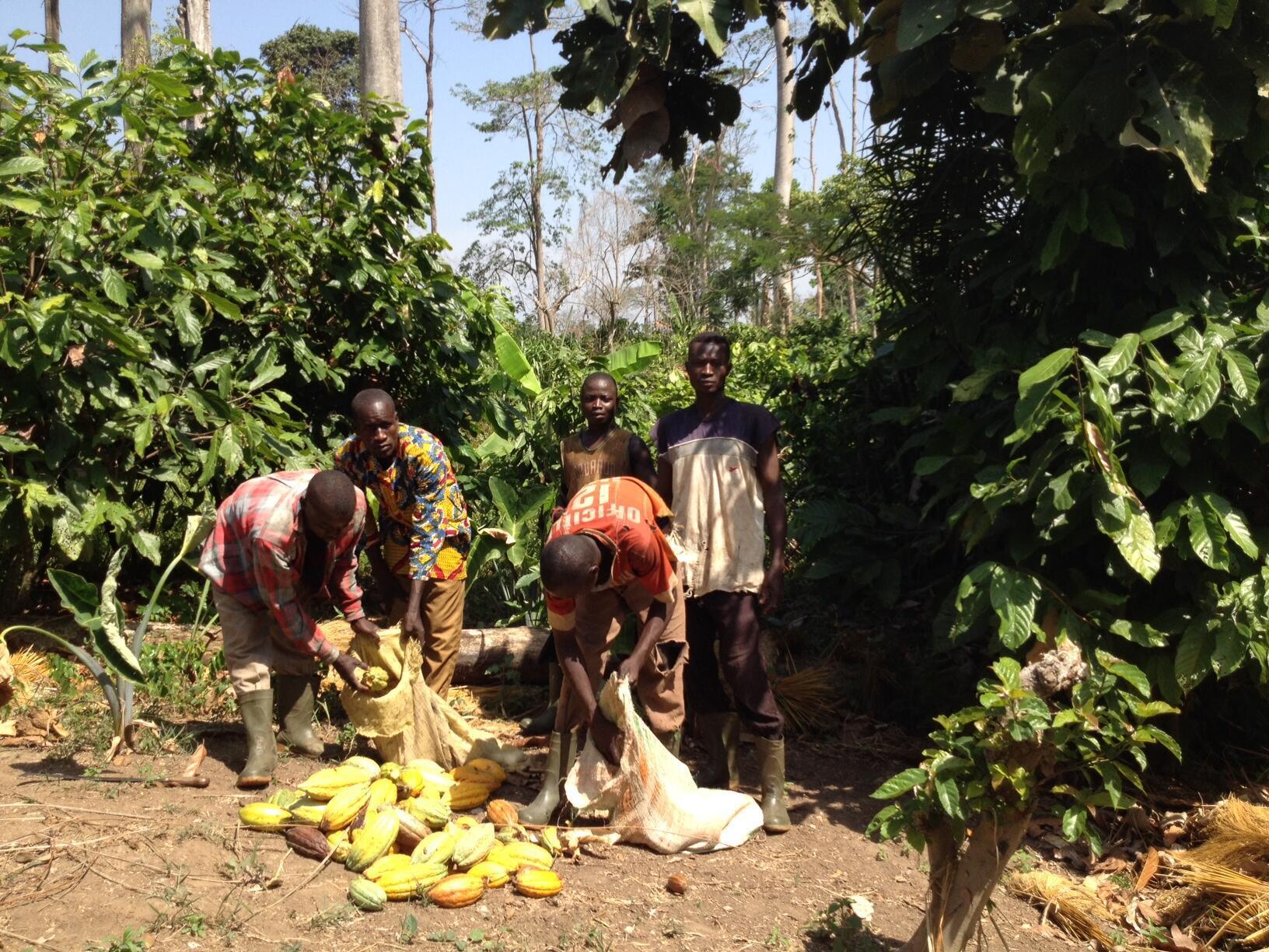 Des planteurs de cacao.