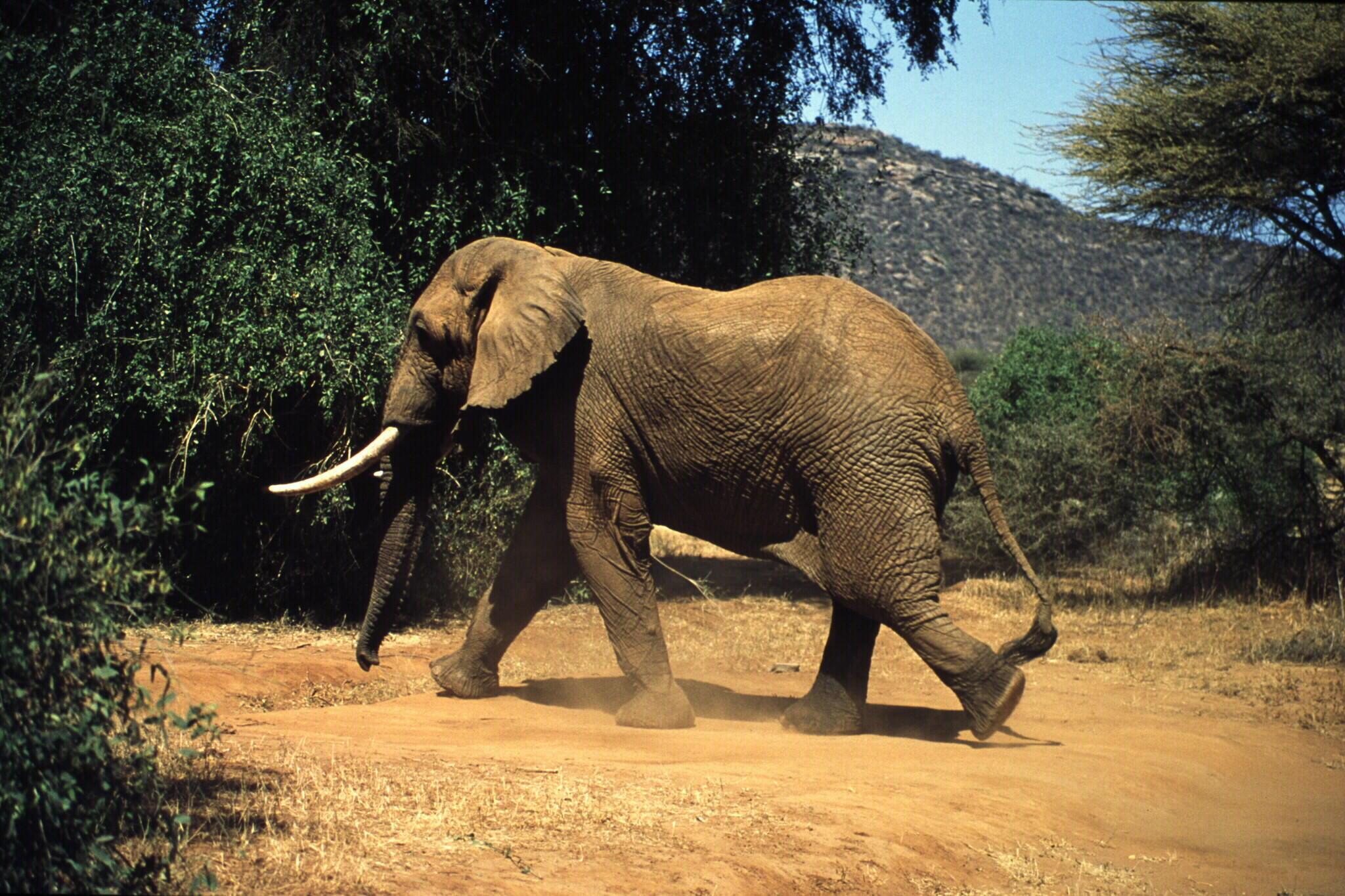 Eléphant (Loxodonta africana) de la famille des Elephantidae.