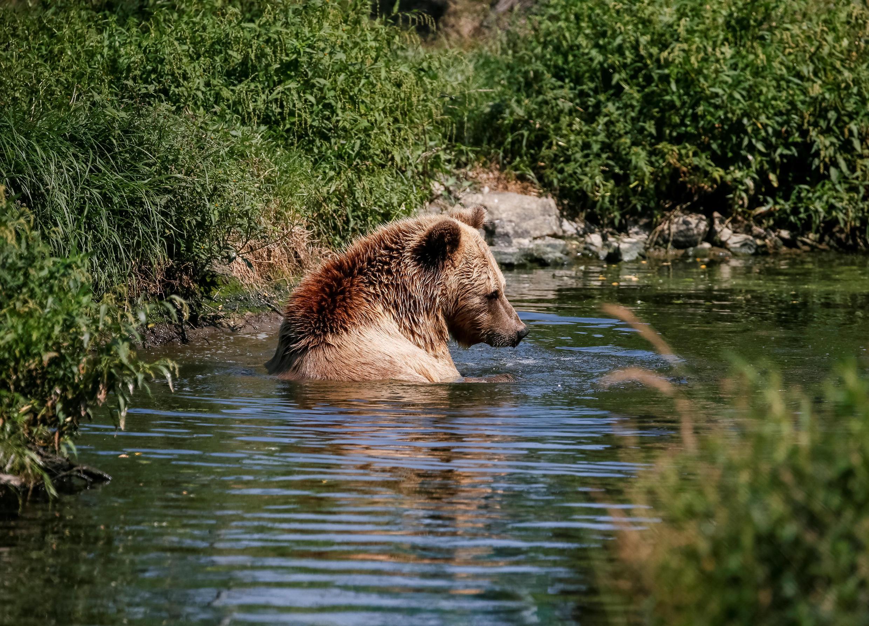 Un ours brun photographié dans le village de Berezivka près de Zhytomyr, en Ukraine le 15 août 2017.