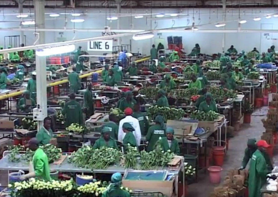 O Quênia produz diariamente 800 mil pés de flores para exportação: metade são rosas.