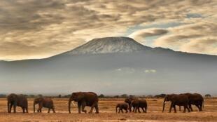 Una manada de elefantes frente al monte Kilimanjaro, en el parque nacional de Amboseli, en Kenia, el 3 de noviembre de 2016