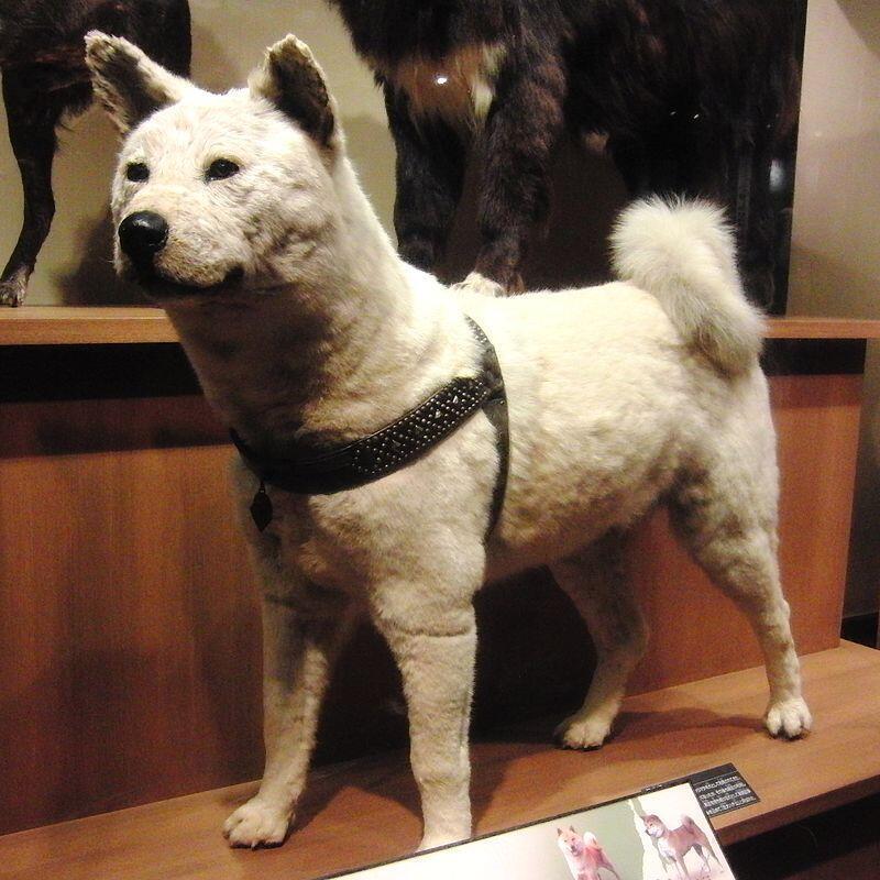 Chó Hachikō Nhật Bản, huyền thoại nổi tiếng thế giới về sự trung thành với chủ (Viện bảo tàng khoa học quốc gia, Tokyo, Nhật Bản)