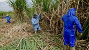 Champ de canne à sucre dans une ferme de Piracicaba, au Brésil.