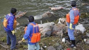 Nhân viên môi trường thu dọn xác heo trên sông Hoàng Phố, Trung Quốc, ngày 10/3/2013.