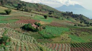 Un champ de culture du pyrèthre au Rwanda. Cette fleur permet non seulement de produire de l'insecticide naturel, elle enrichit également la terre de matières organiques et sa culture permet de lutter contre l'érosion.