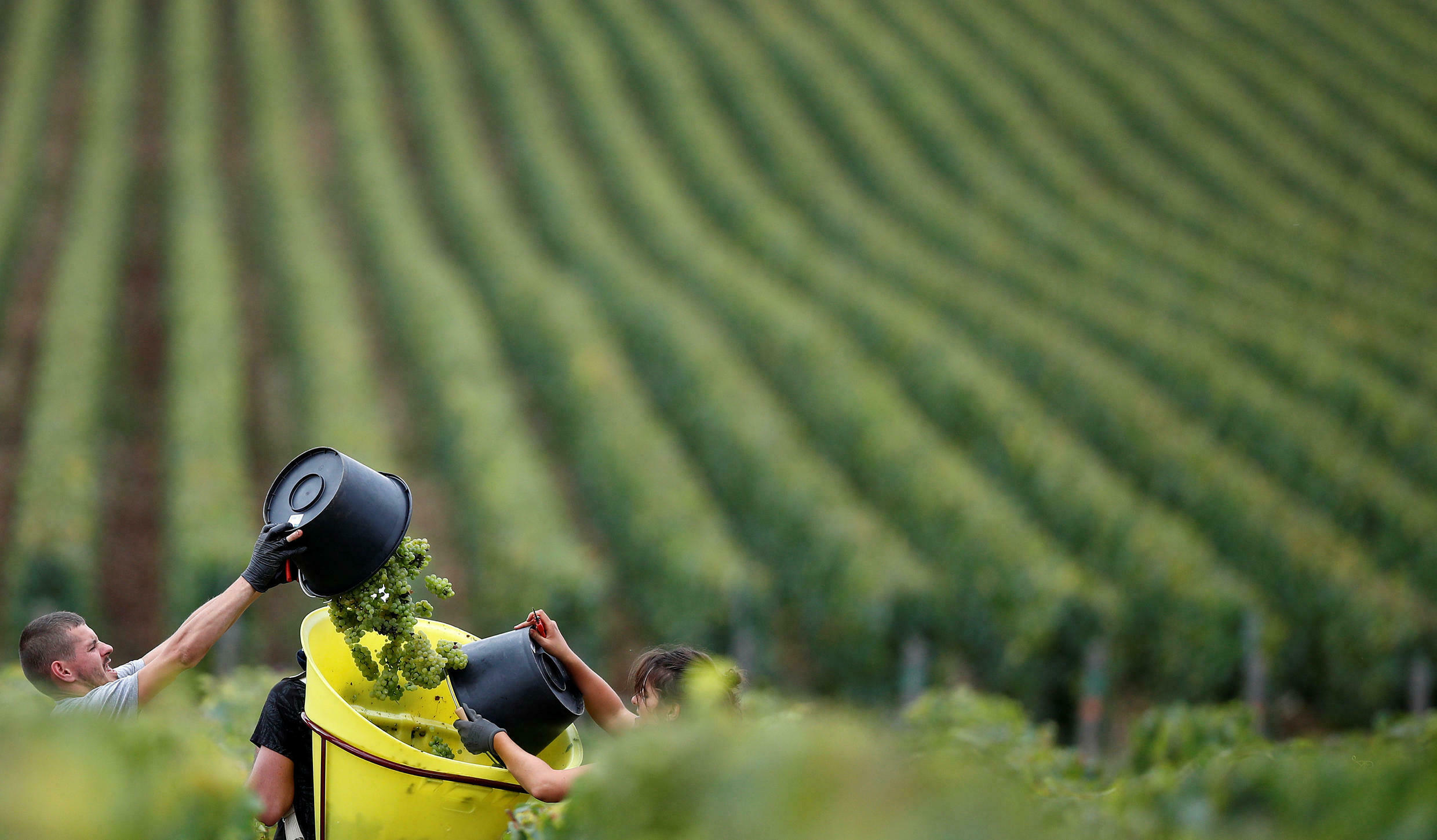 Three vineyards have had grapes stolen in the Bordeaux region since mid-September 2017.