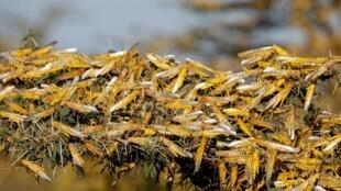 Une branche ravagée par des criquets au Kenya. Après l'Afrique de l'est, c'est l'Inde qui fait face à l'invasion de criquets pélerins. (Illustration)