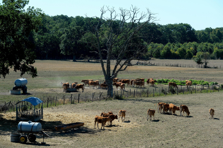 O gado Limousin é fotografado em pastos secos em uma fazenda de gado, em 5 de agosto de 2020, em Vivoin, no oeste da França, pois uma onda de calor é esperada nos próximos dias.