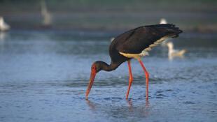 Cegonhas negras precisam de ambiente selvagem para se reproduzir